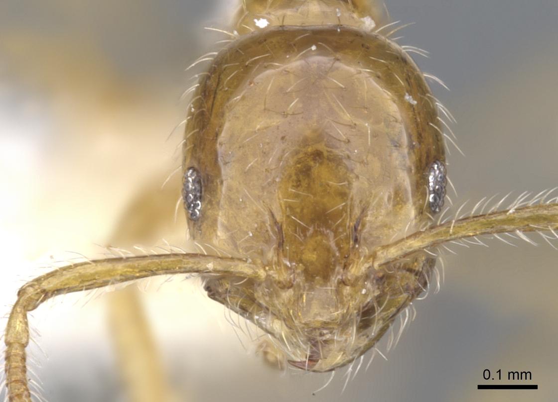 Image of Monomorium vecte