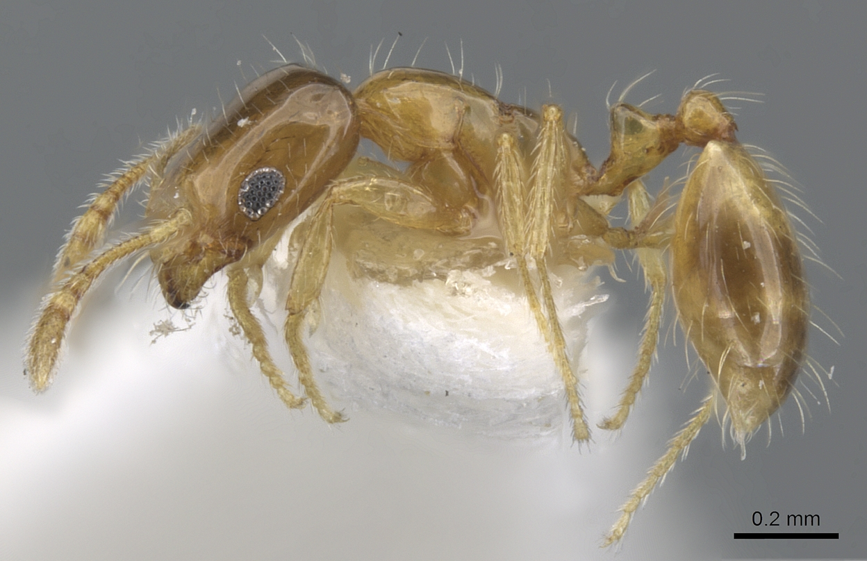 Image of Monomorium holothir