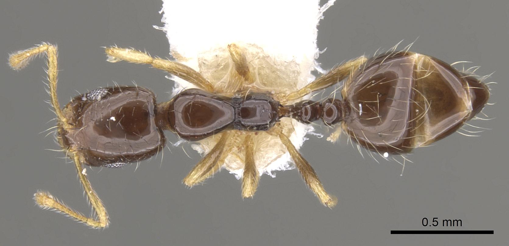 Image of Monomorium balathir