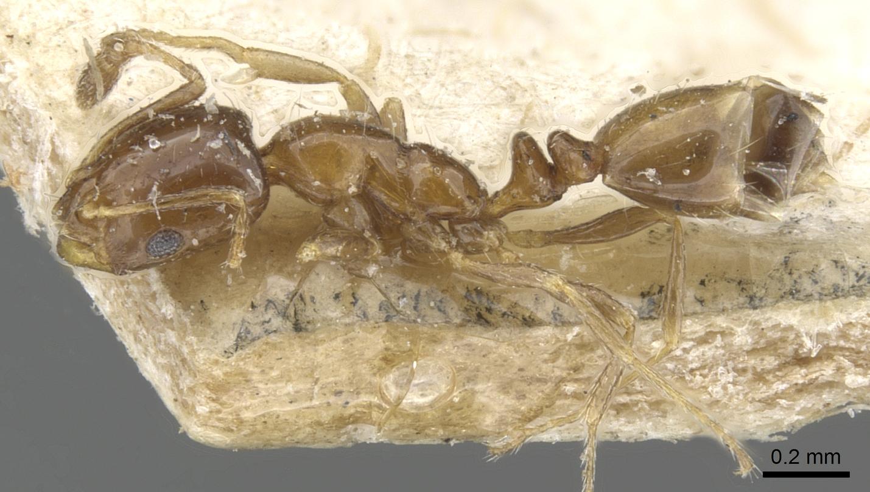 Monomorium angustinode image