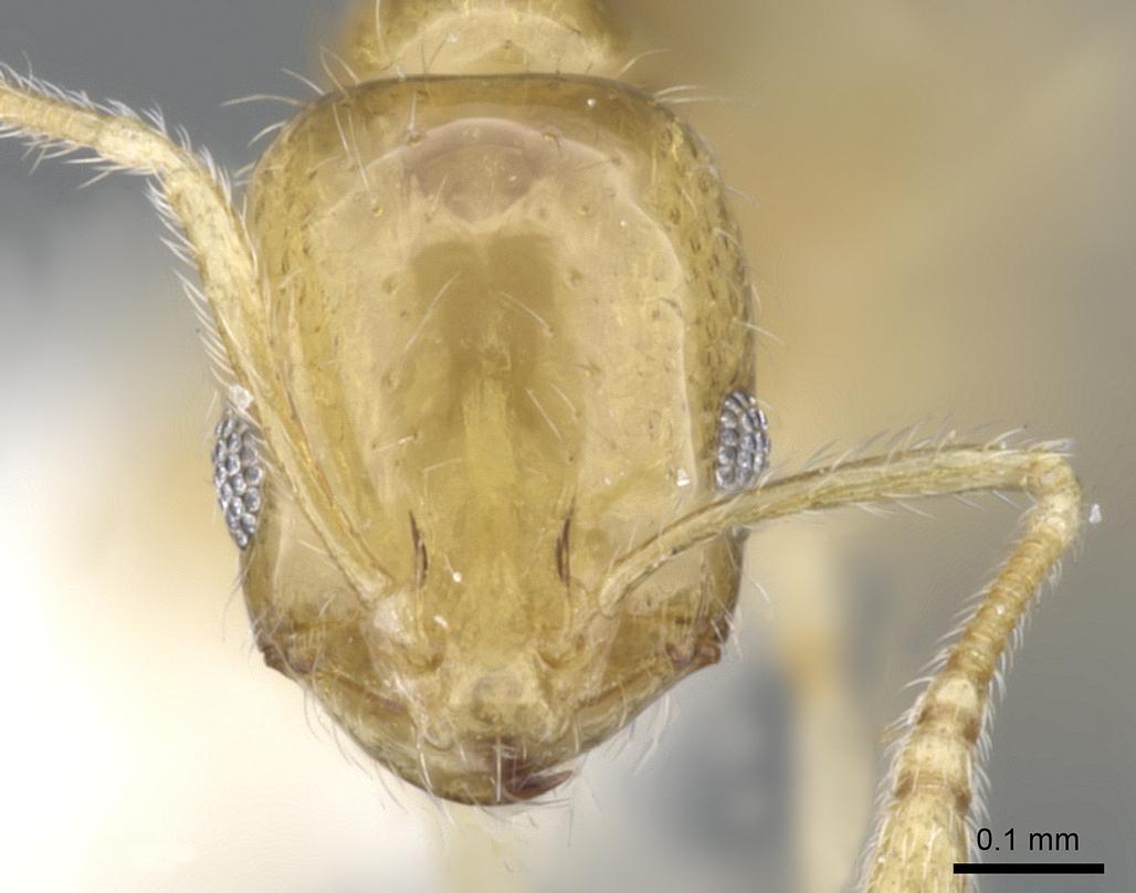 Image of Monomorium rastractum