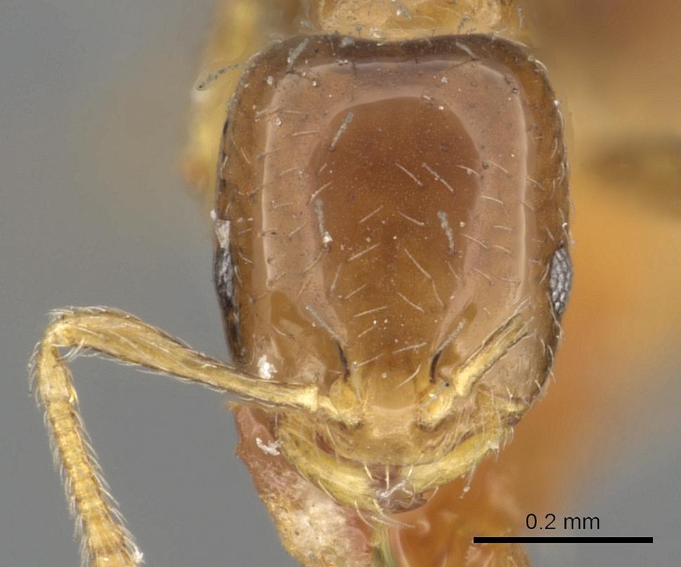 Image of Monomorium kelapre