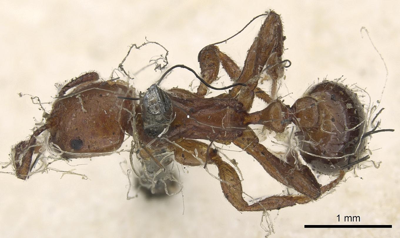 Image of Monomorium rubriceps