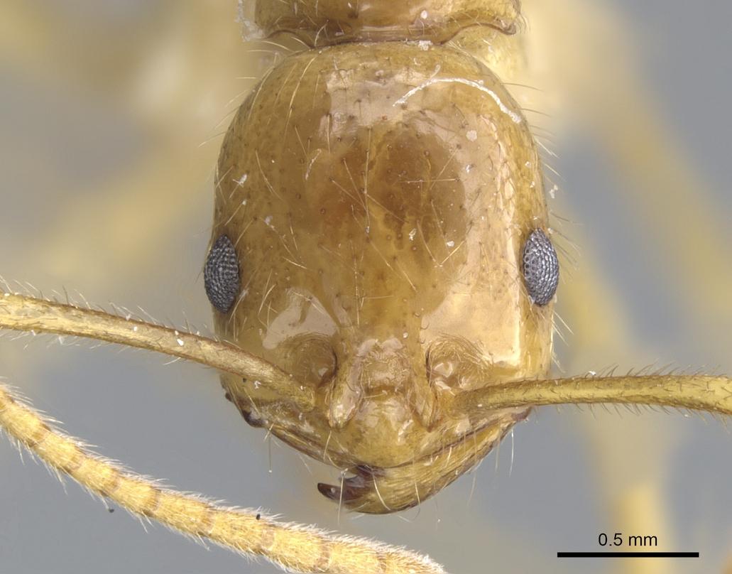 Image of Megalomyrmex cyendyra