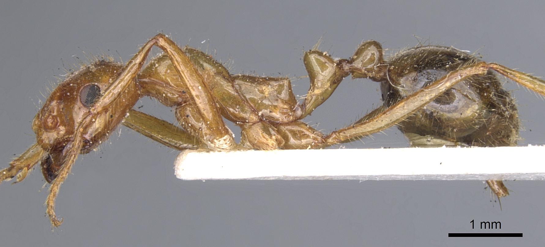 Image of Megalomyrmex foreli