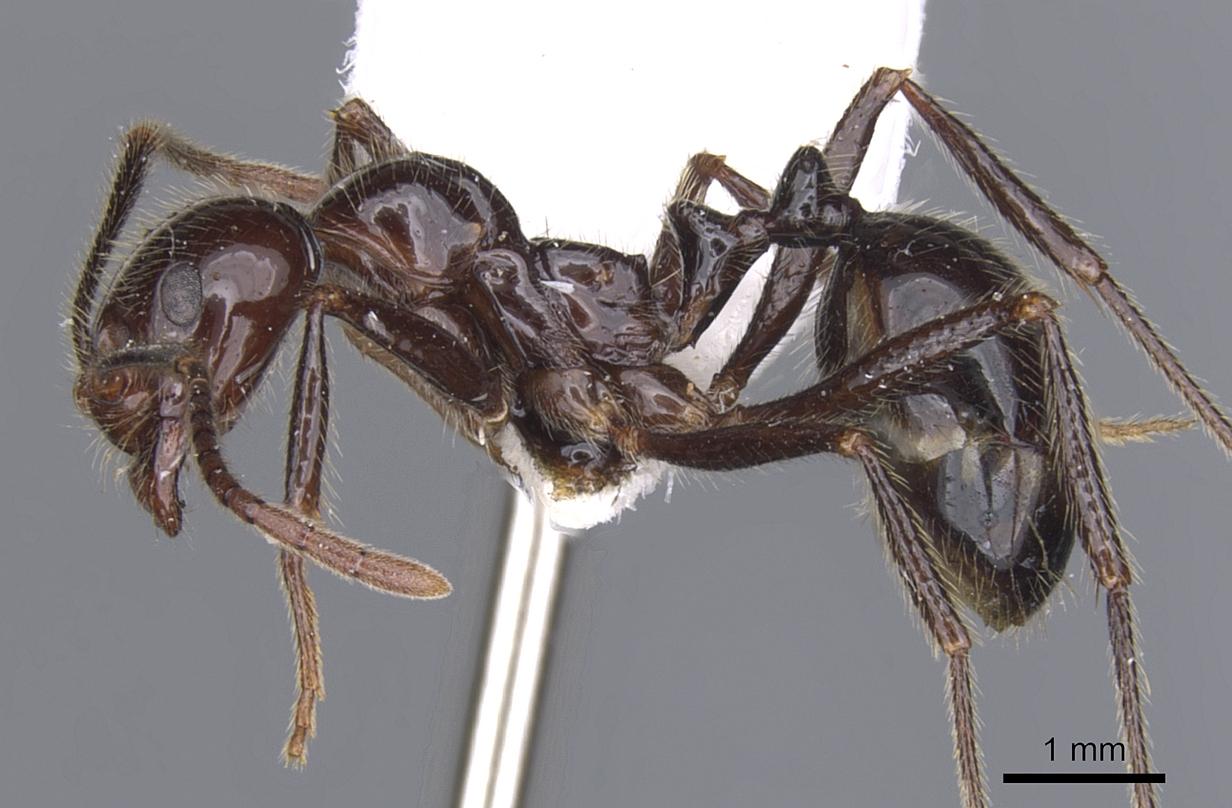 Image of Megalomyrmex timbira