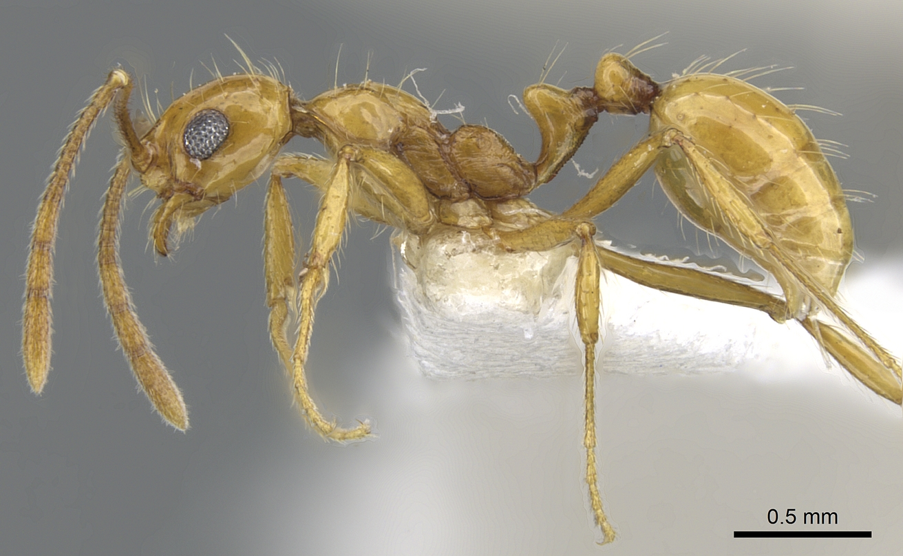 Image of Megalomyrmex cuatiara