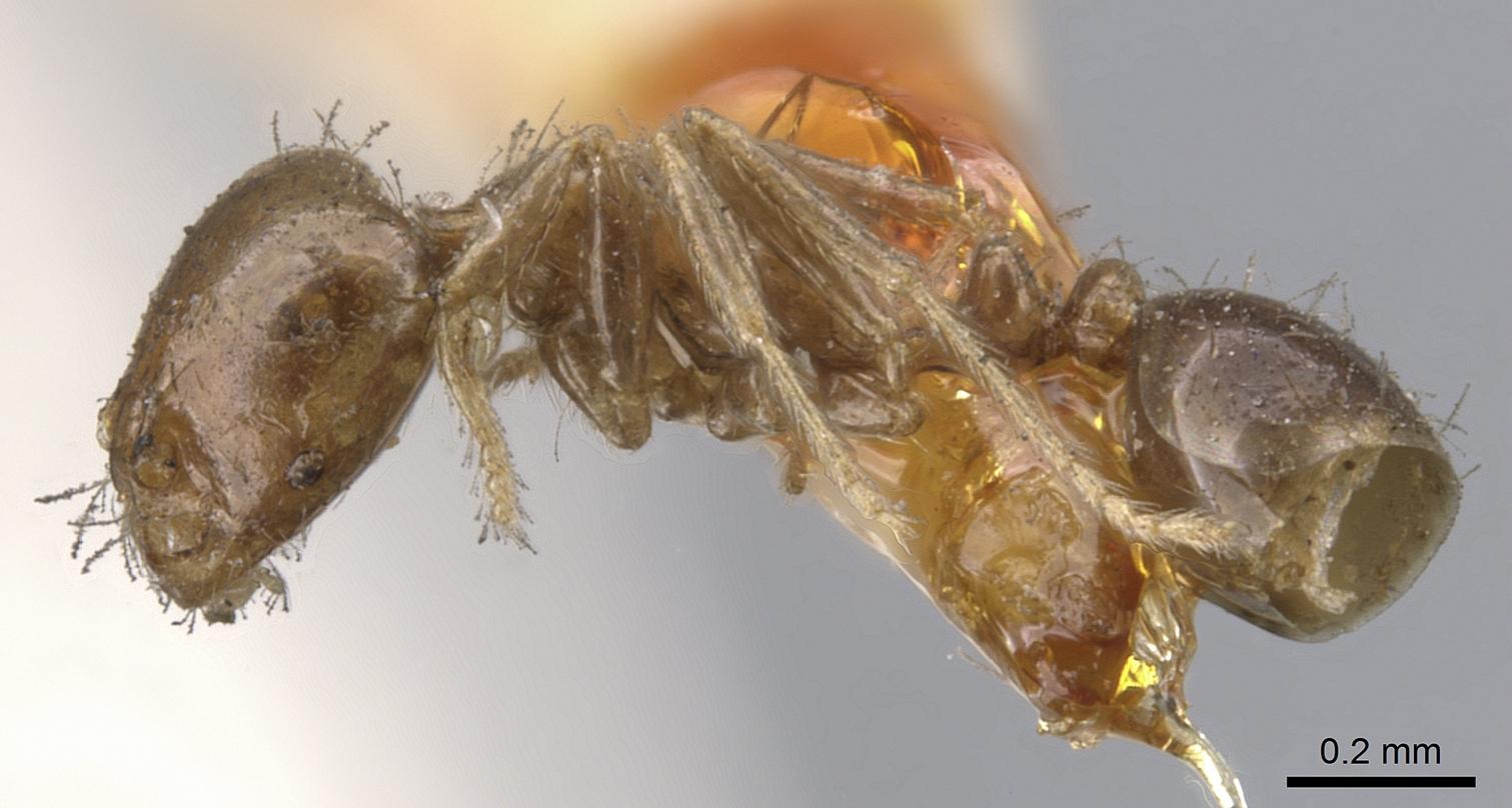 Image of Solenopsis tenuis