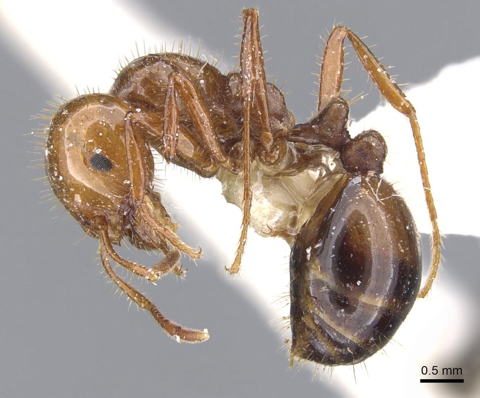 Image of Solenopsis quinquecuspis