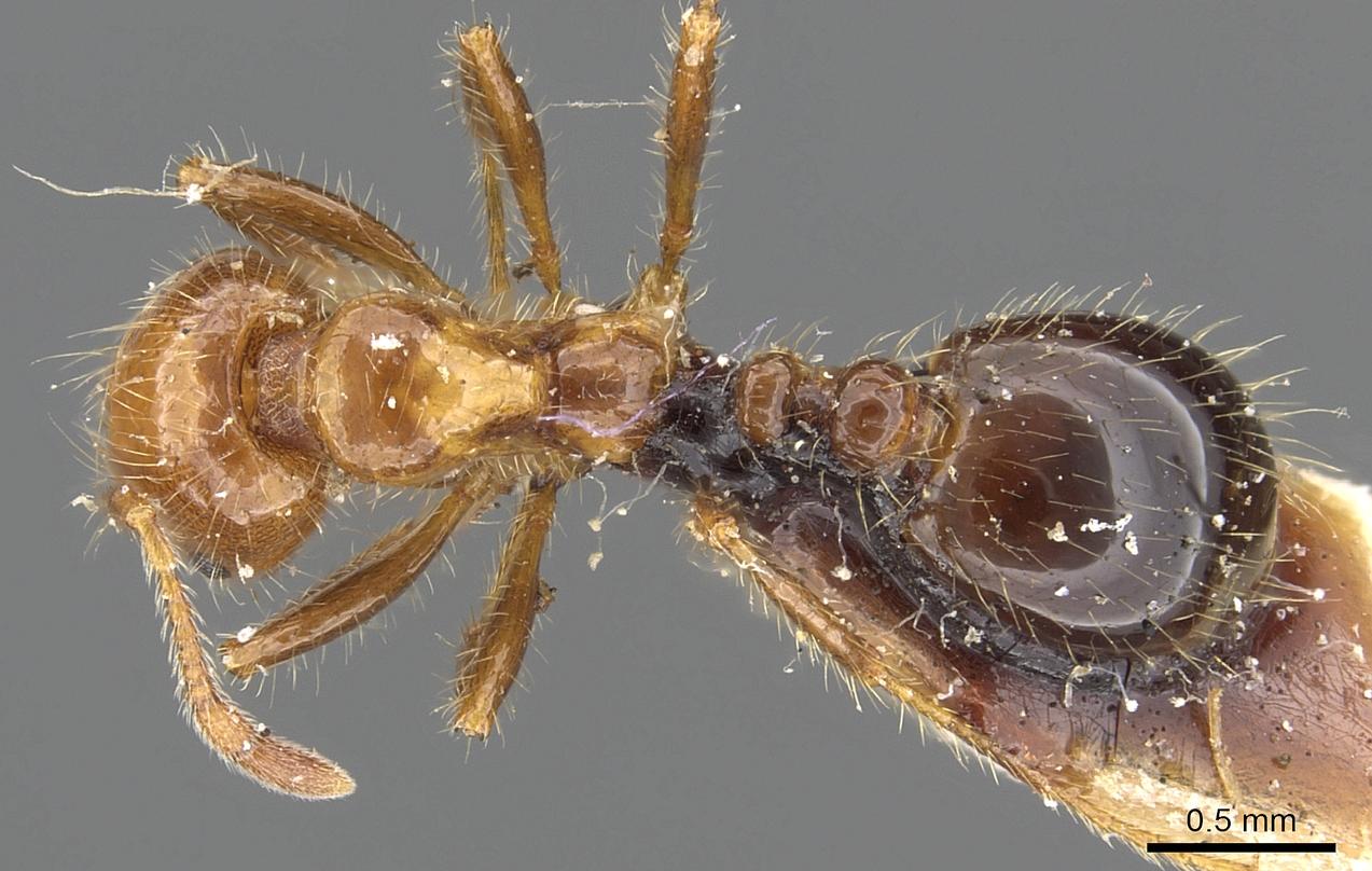 Image of Solenopsis weyrauchi