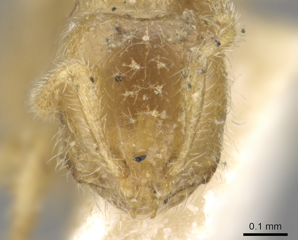 Image of Solenopsis insinuans