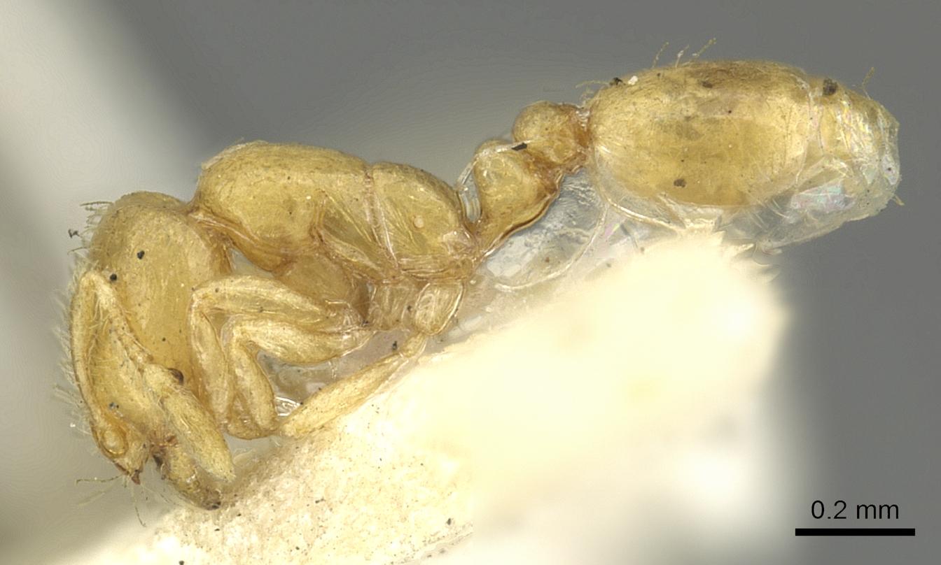 Image of Solenopsis clarki