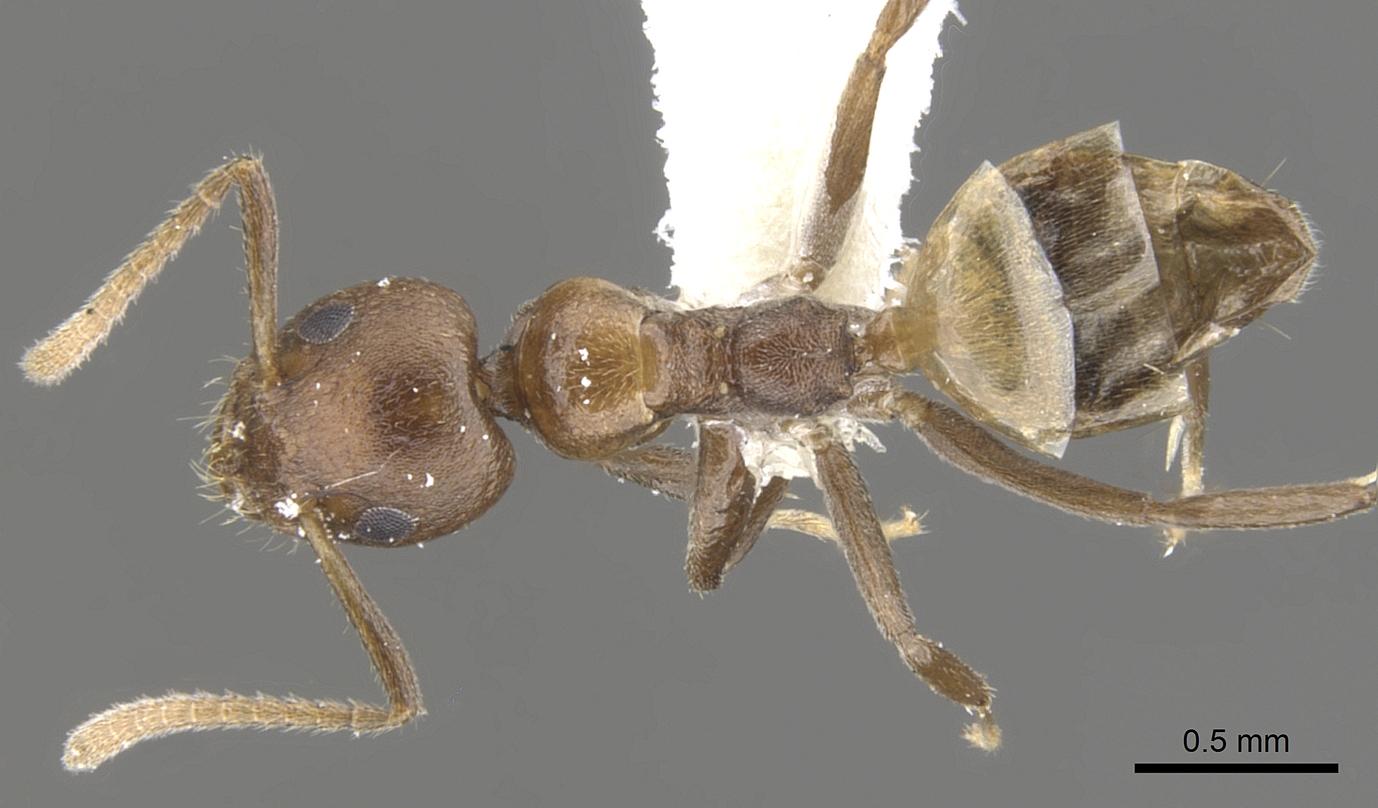 Image of Axinidris hylekoites