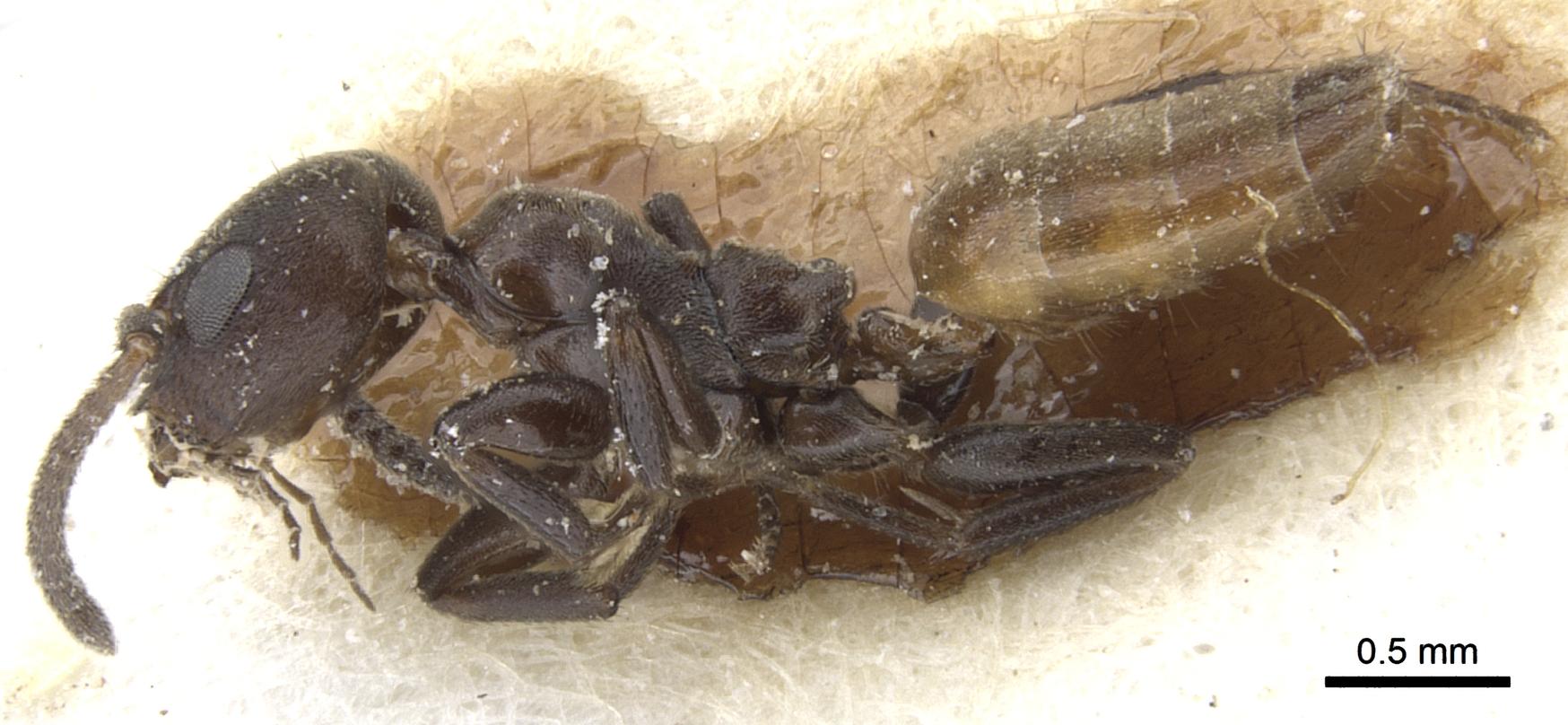 Image of Axinidris palligastrion