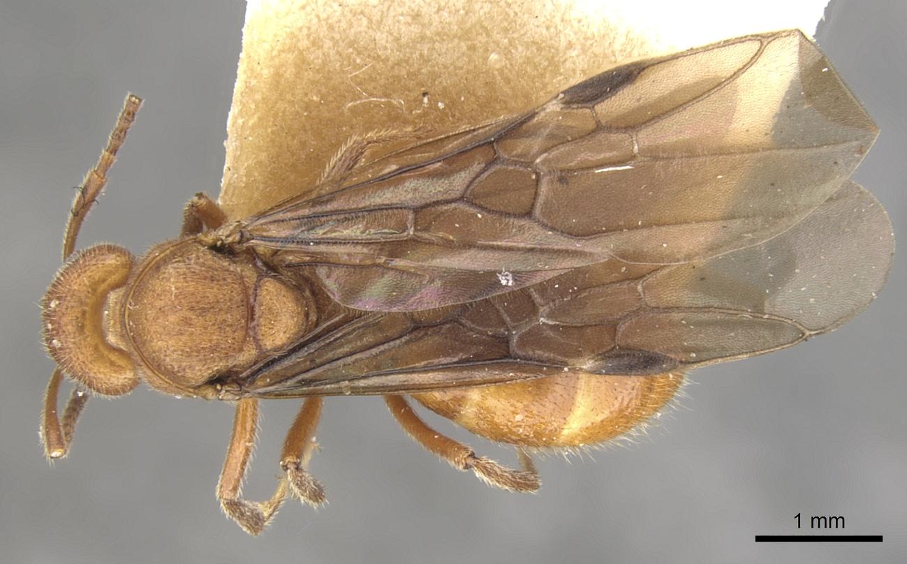Image of Dolichoderus rufescens