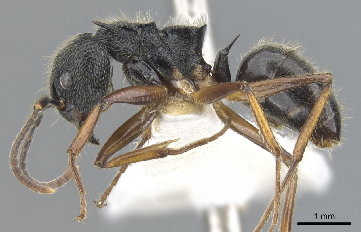 Image of Dolichoderus epetreius