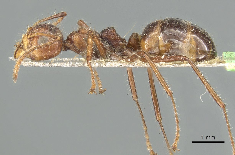 Image of Dolichoderus patens