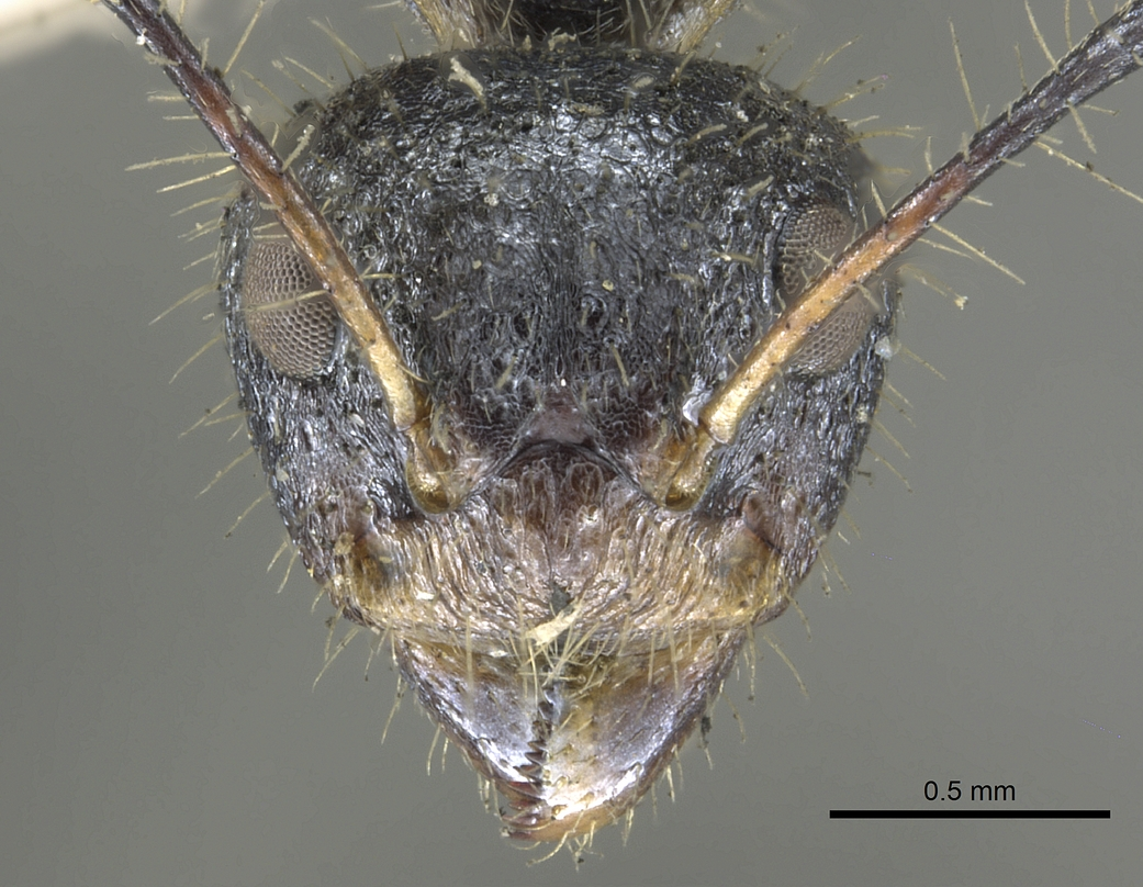 Image of Dolichoderus crawleyi
