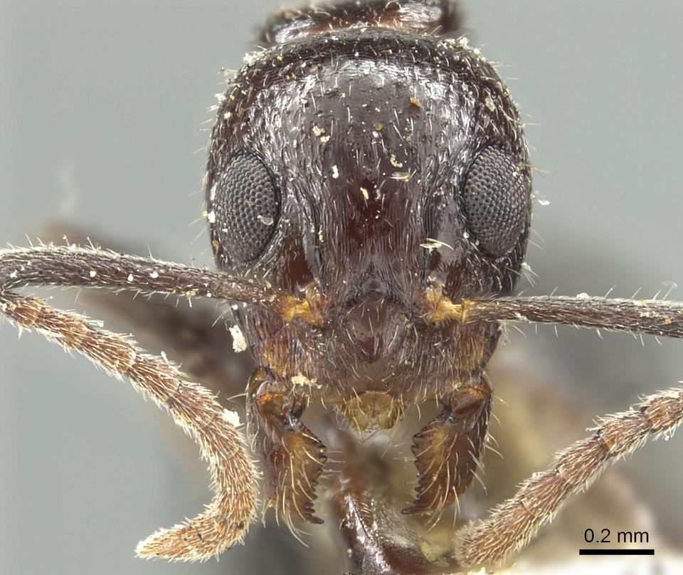 Image of Dolichoderus goudiei