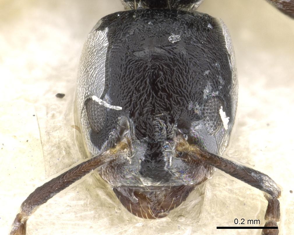 Image of Anonychomyrma minuta