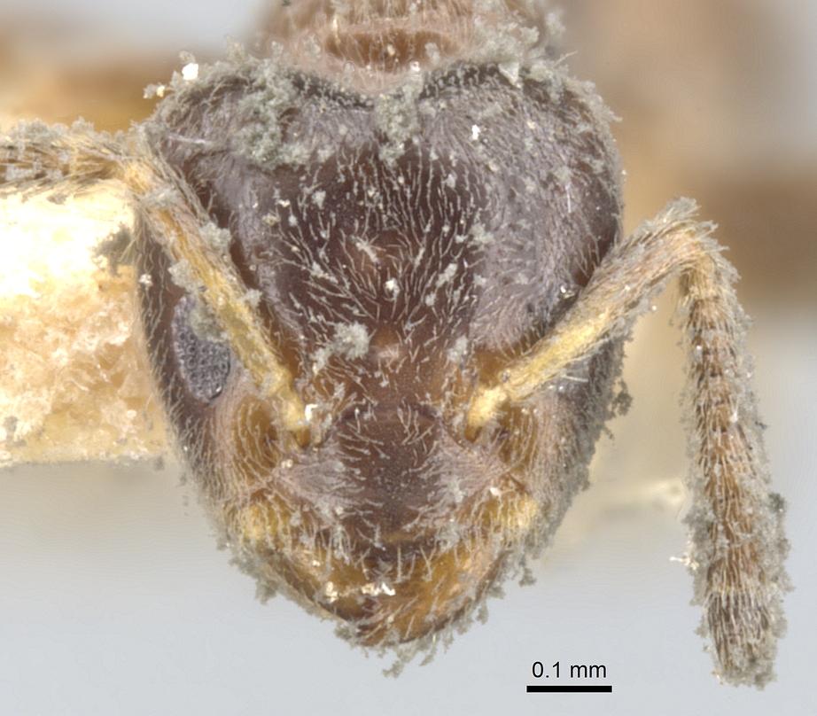 Image of Azteca trianguliceps