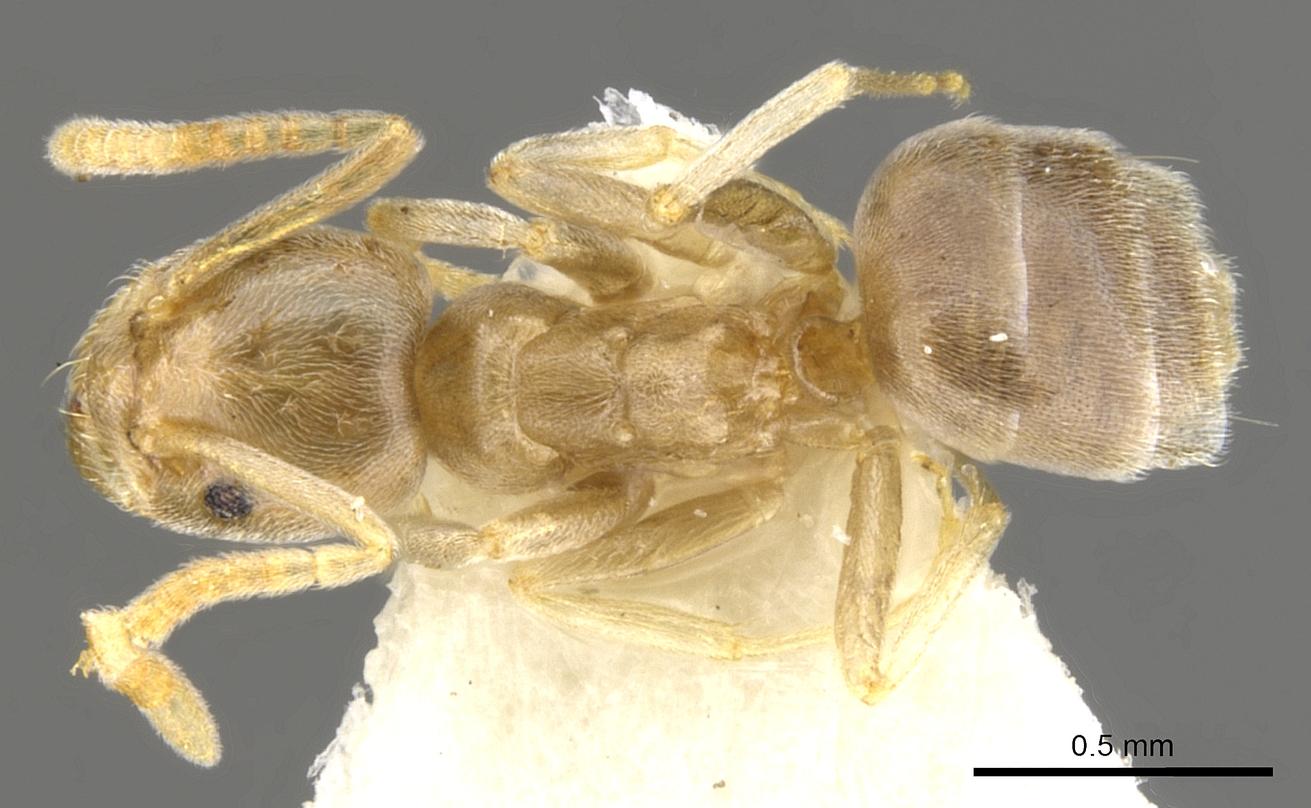 Image of Bothriomyrmex modestus