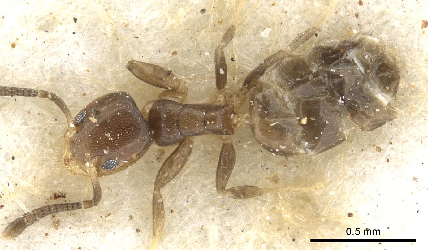 Image of Tapinoma danitschi