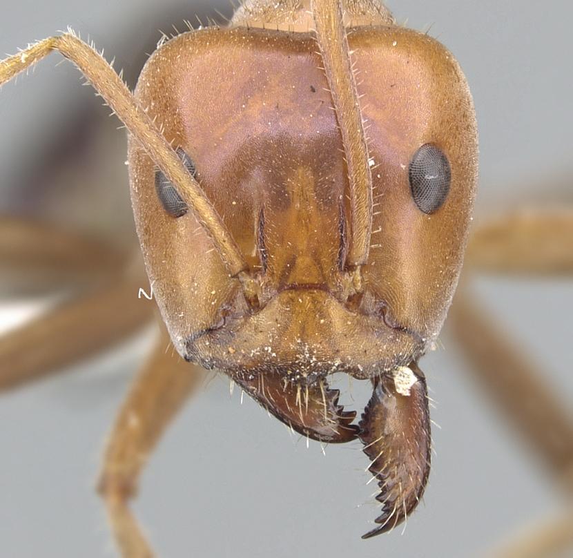 Image of Iridomyrmex spodipilus