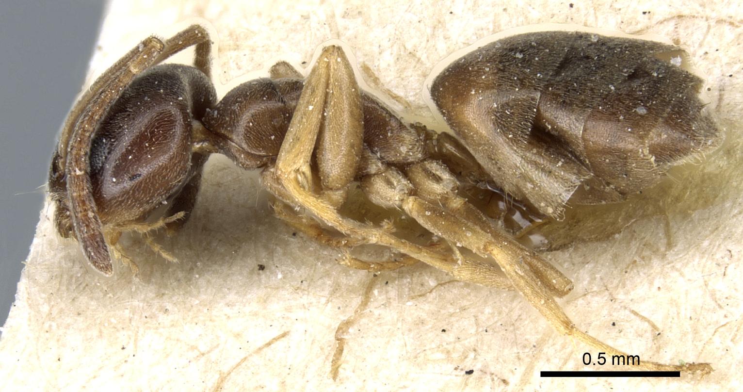 Image of Tapinoma sinense