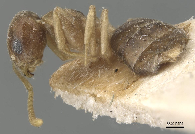 Image of Tapinoma luridum