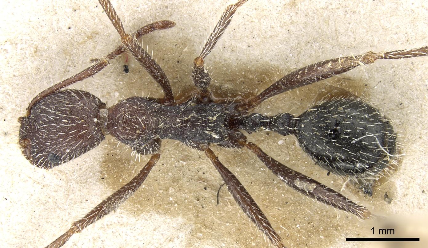 Image of Aphaenogaster campana