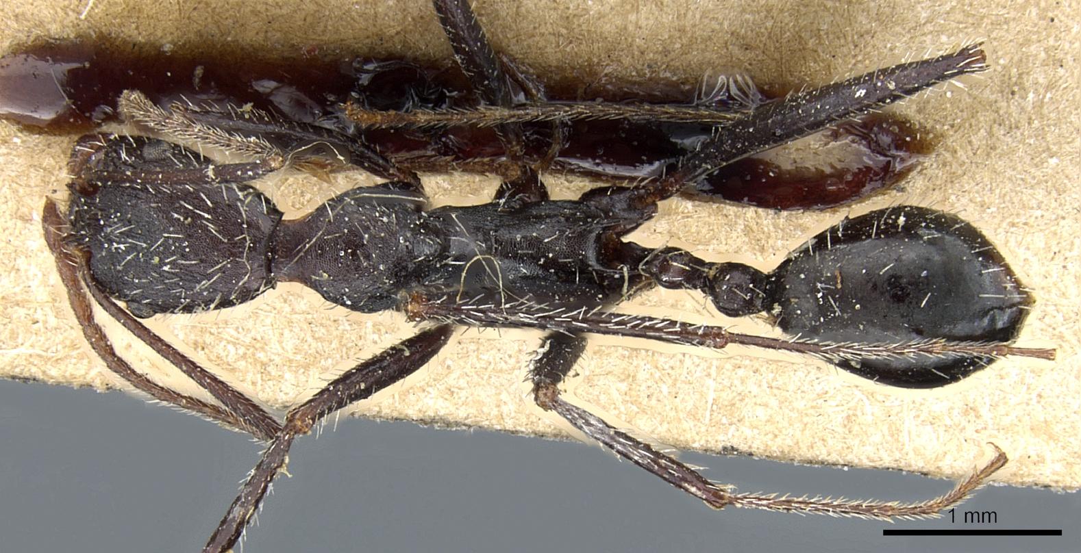 Aphaenogaster iberica image