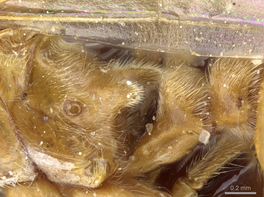 Image of Aphaenogaster sangiorgii