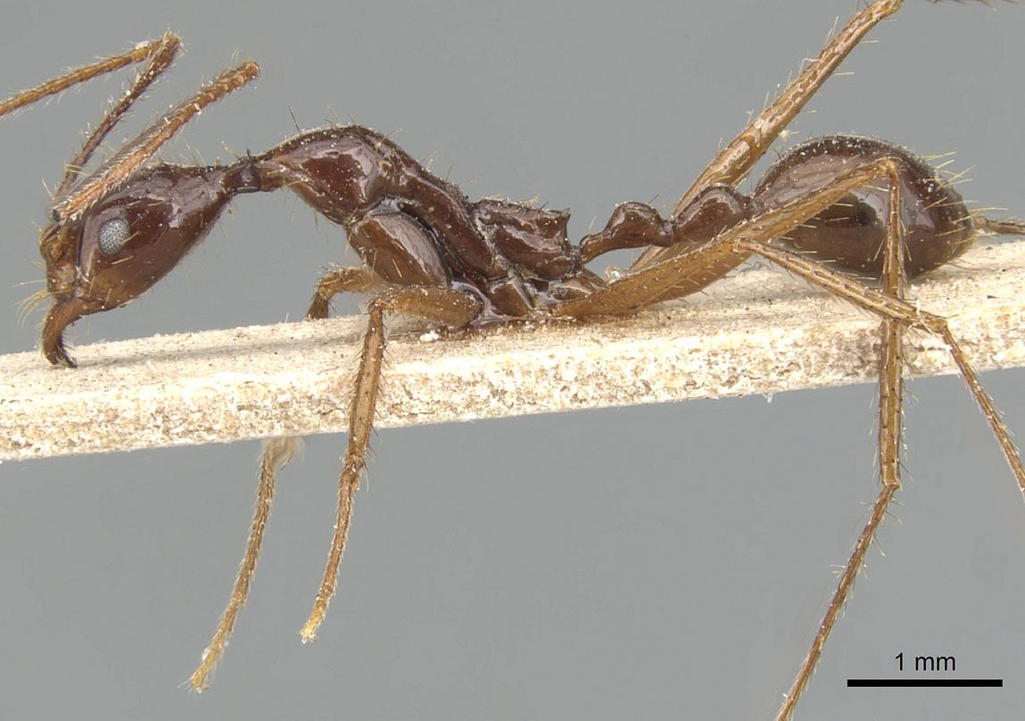 Aphaenogaster feae image