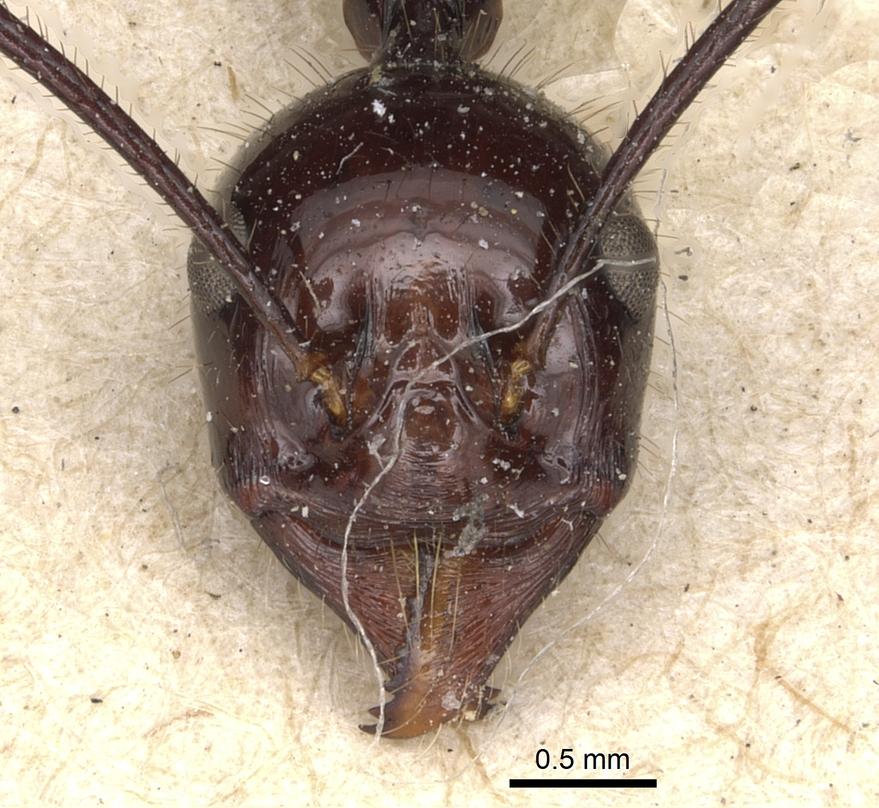 Image of Aphaenogaster quadrispina