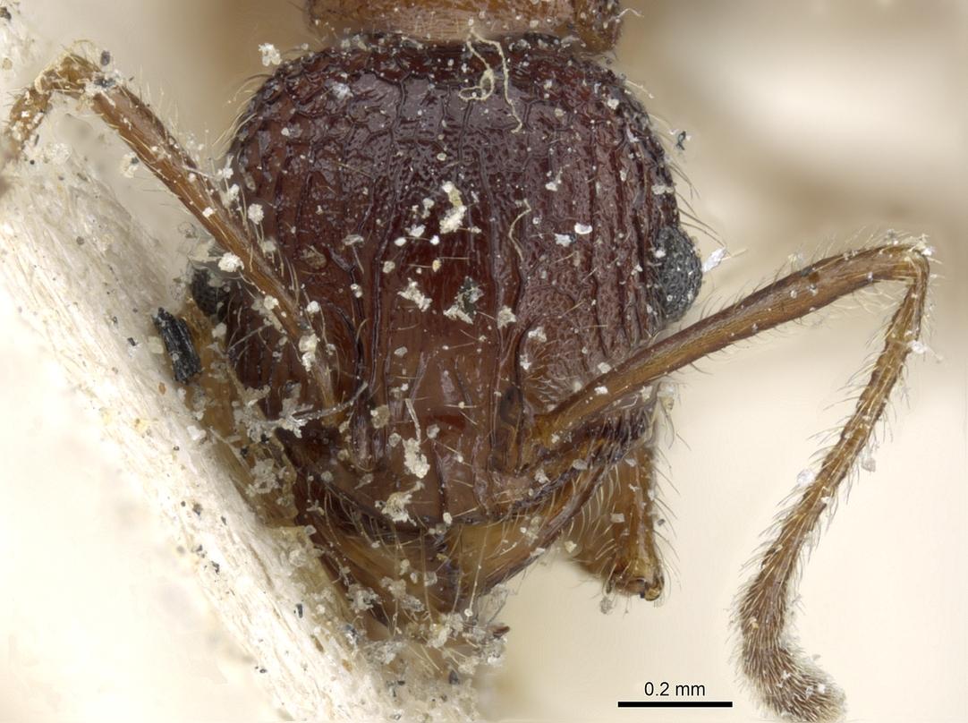 Image of Pheidole variolosa