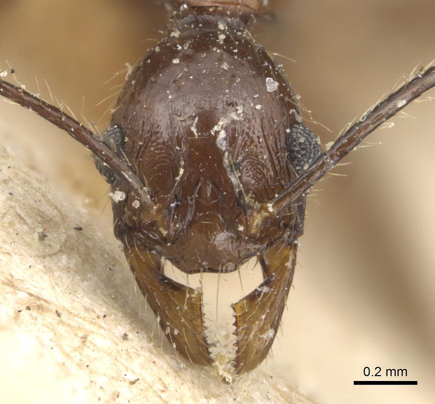 Image of Pheidole velox