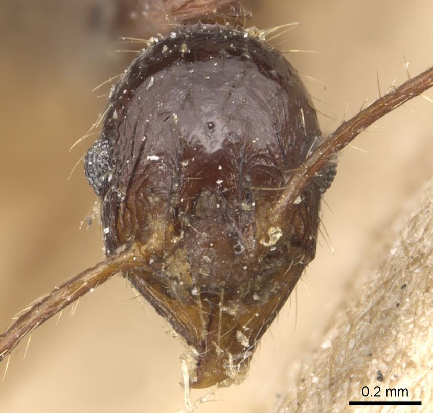 Image of Pheidole longicornis