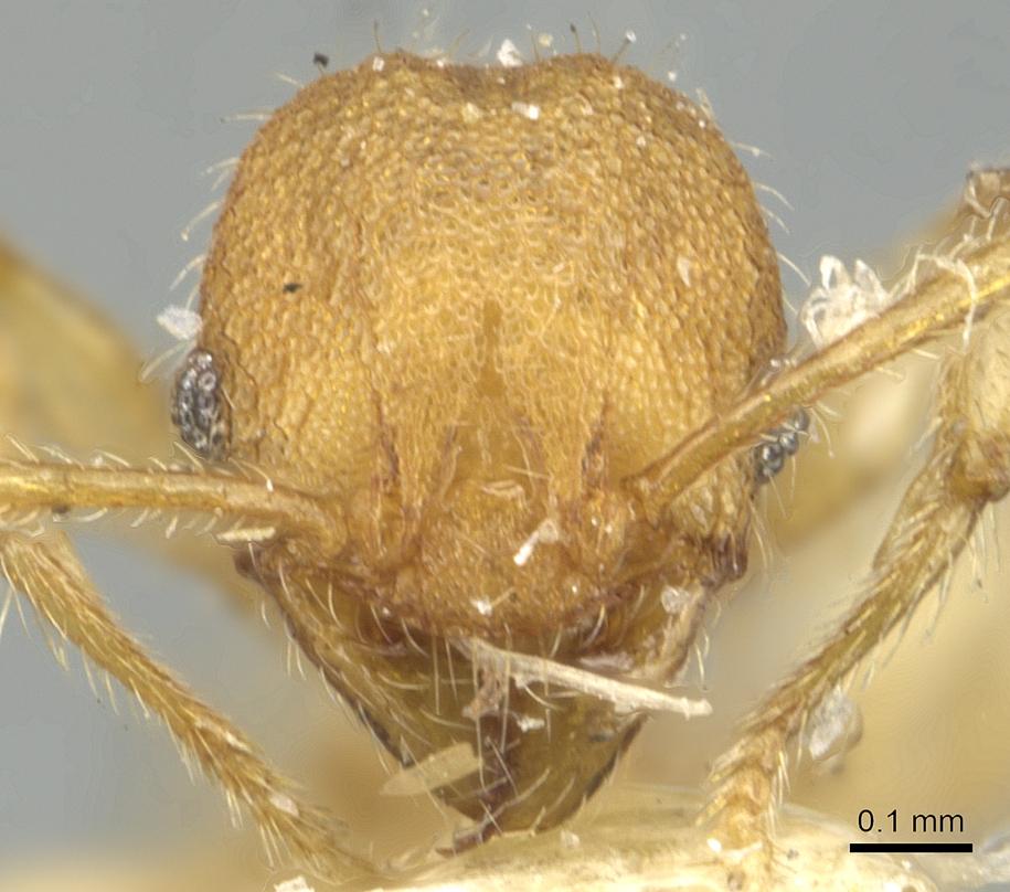 Image of Pheidole nodgii