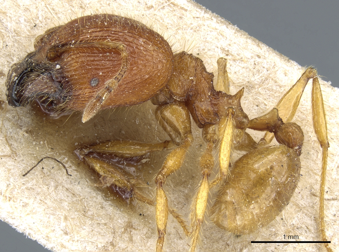 Image of Pheidole ghigii