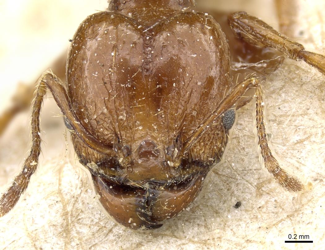 Image of Pheidole nitidula