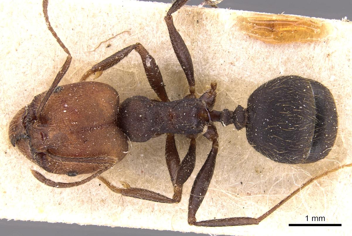 Image of Pheidole delecta