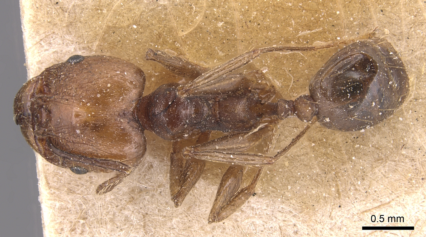 Image of Pheidole plebecula