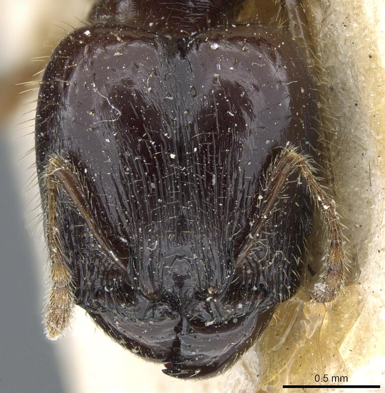 Image of Pheidole balzani