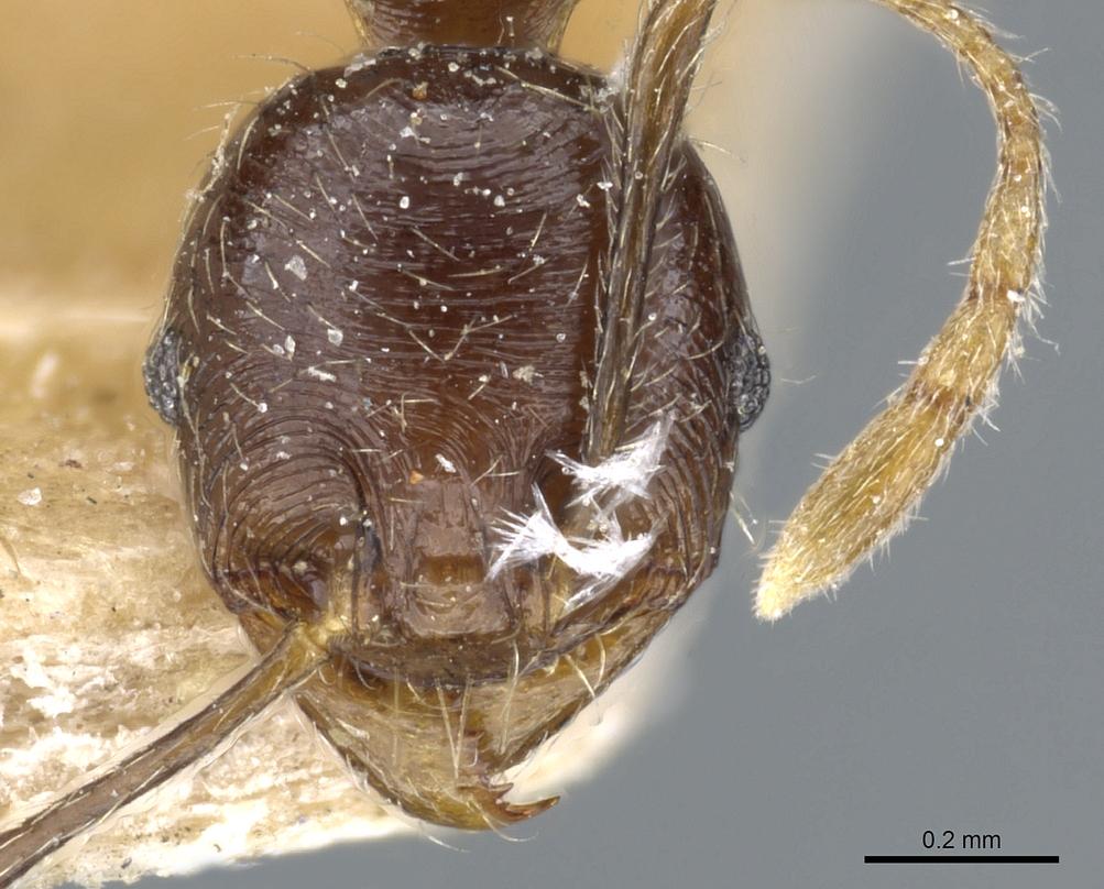 Image of Pheidole godmani