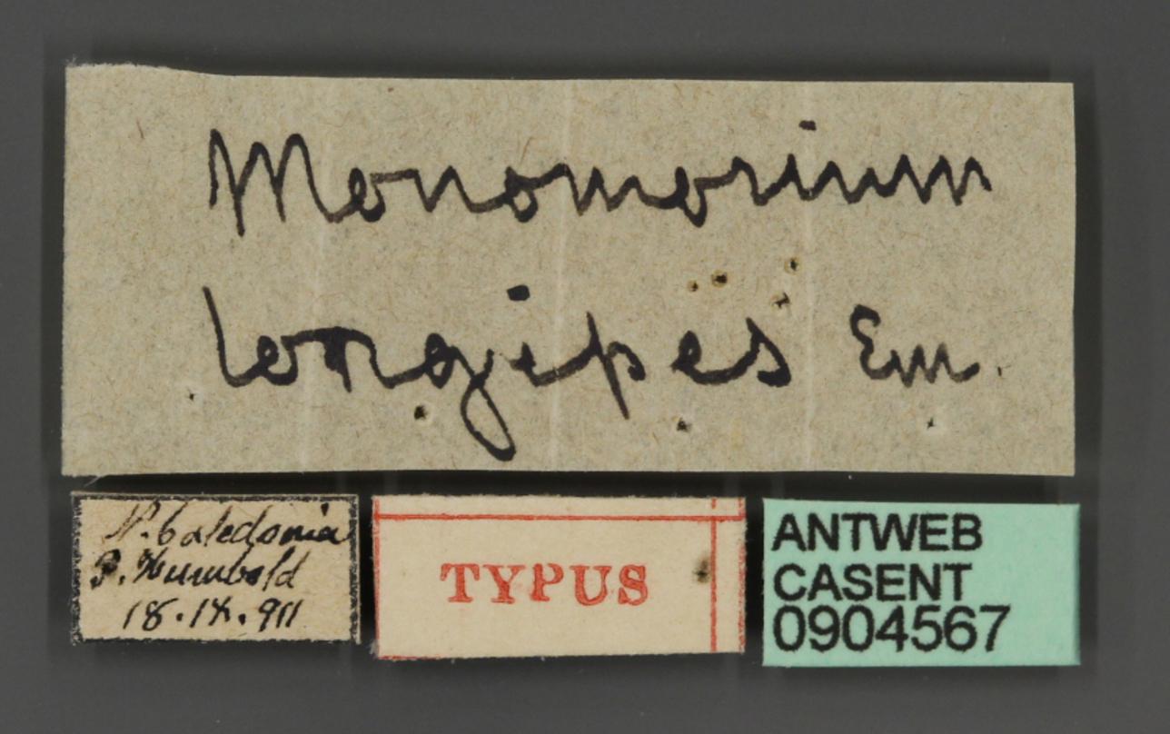 Monomorium longipes image