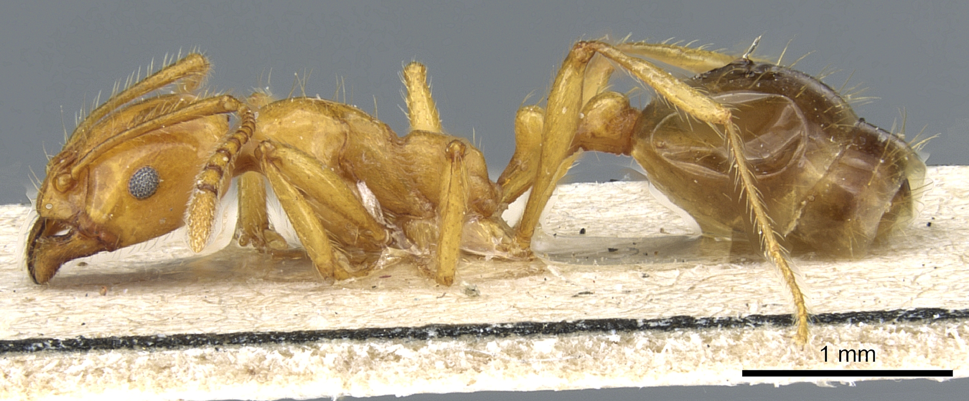 Image of Monomorium longipes
