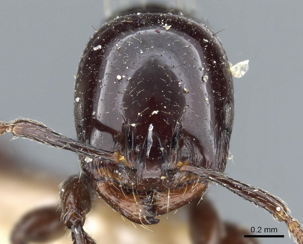 Image of Monomorium edentatum