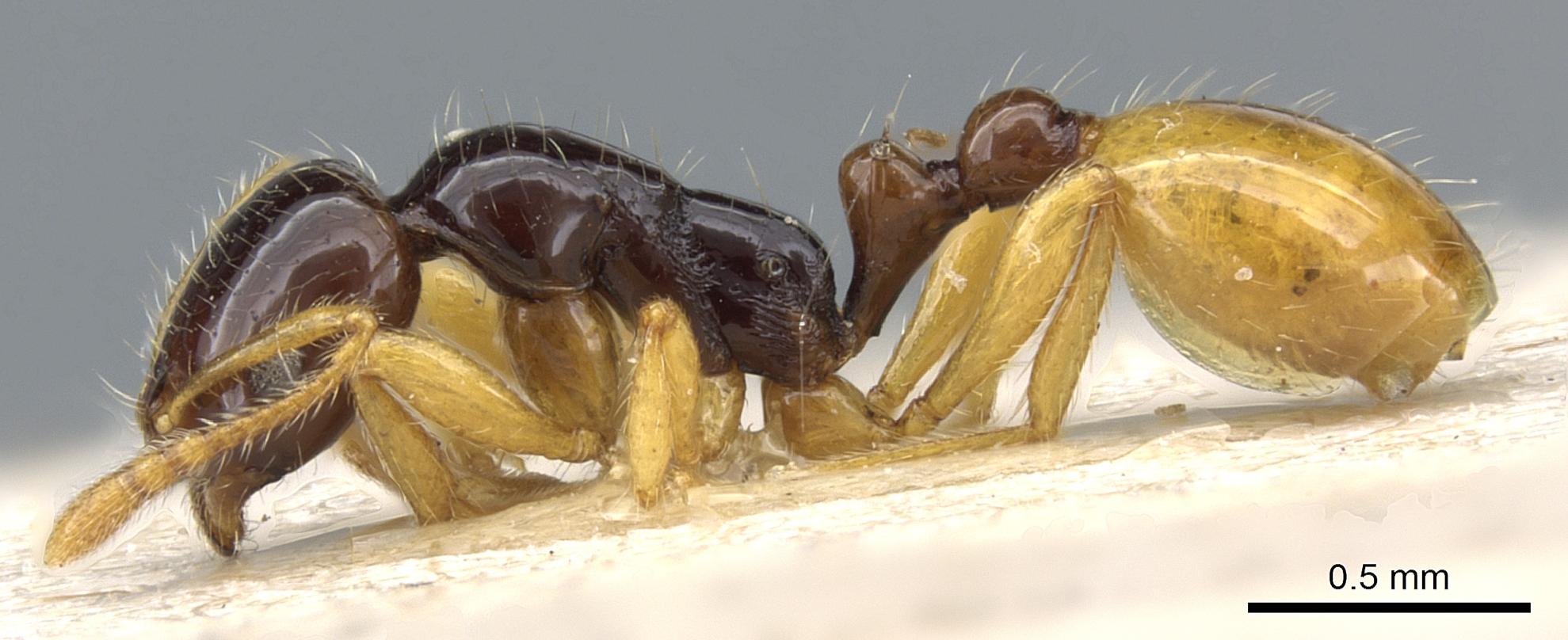 Image of Monomorium croceiventre