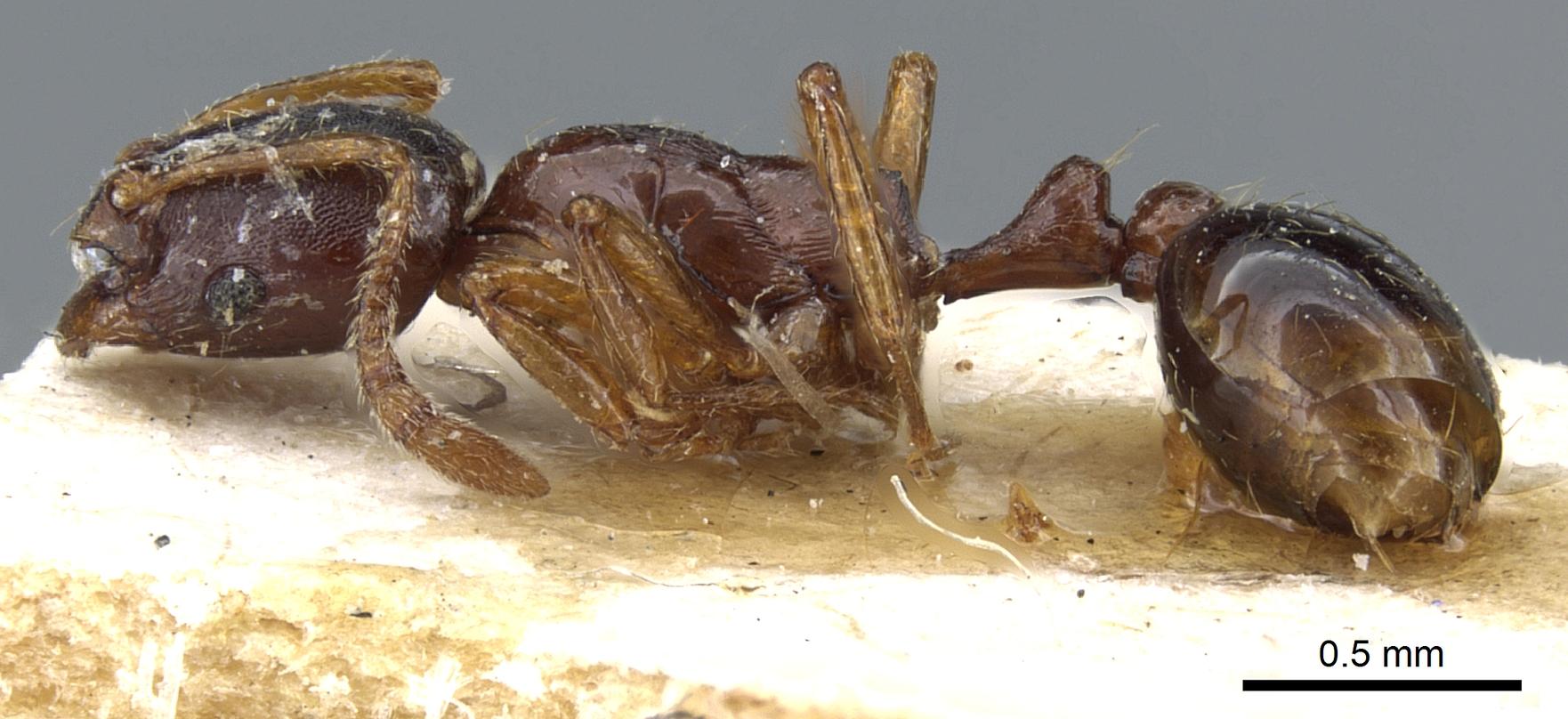 Image of Oxyepoecus mandibularis